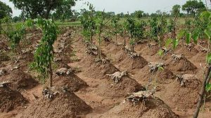 Revolutionizing Yam Production in Nigeria:  NCAM Innovative Heap-making Implement